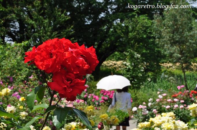 2016ザ・トレジャーガーデンのバラ6