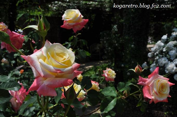 2016ザ・トレジャーガーデンのバラ7