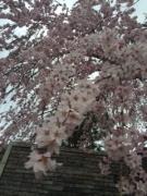 校庭西の枝垂れ桜