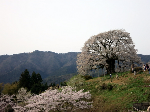 醍醐桜2016①