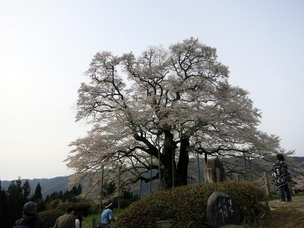 醍醐桜2016②