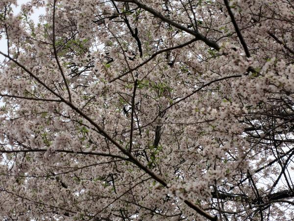 醍醐桜2016⑤