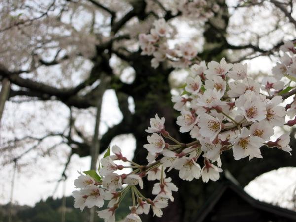 醍醐桜2016④