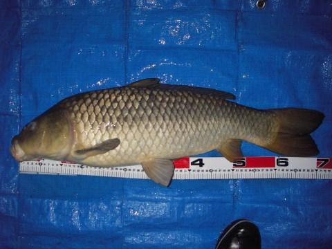 中川 鯉 71cm パン耳