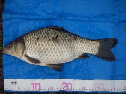 中川 フナか鯉ベラ 35cm