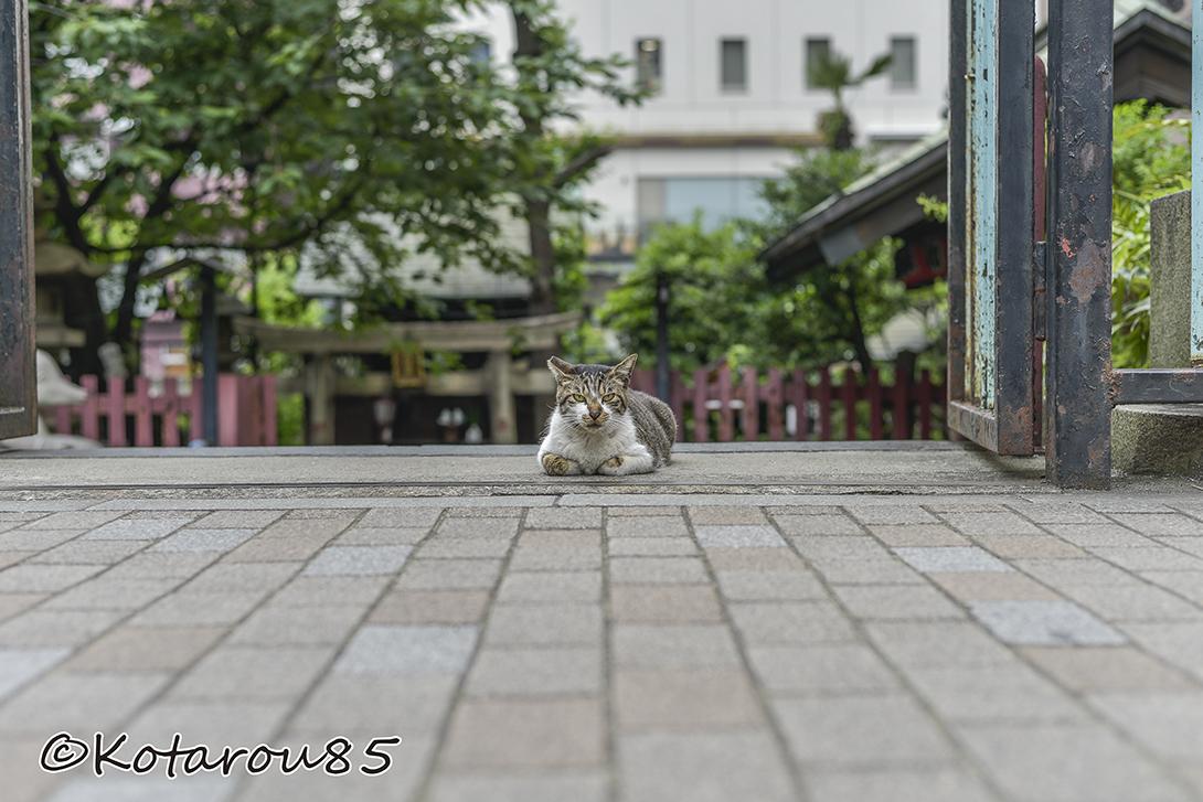 柳森神社の猫2 20160526