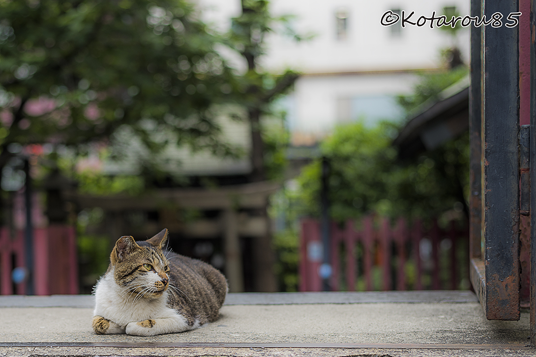 柳森神社の猫3 20160526