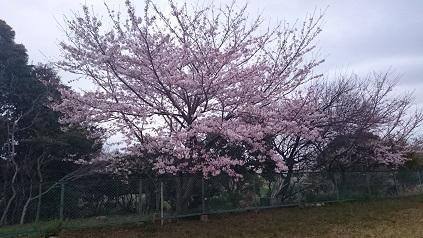 2016春 公園の桜