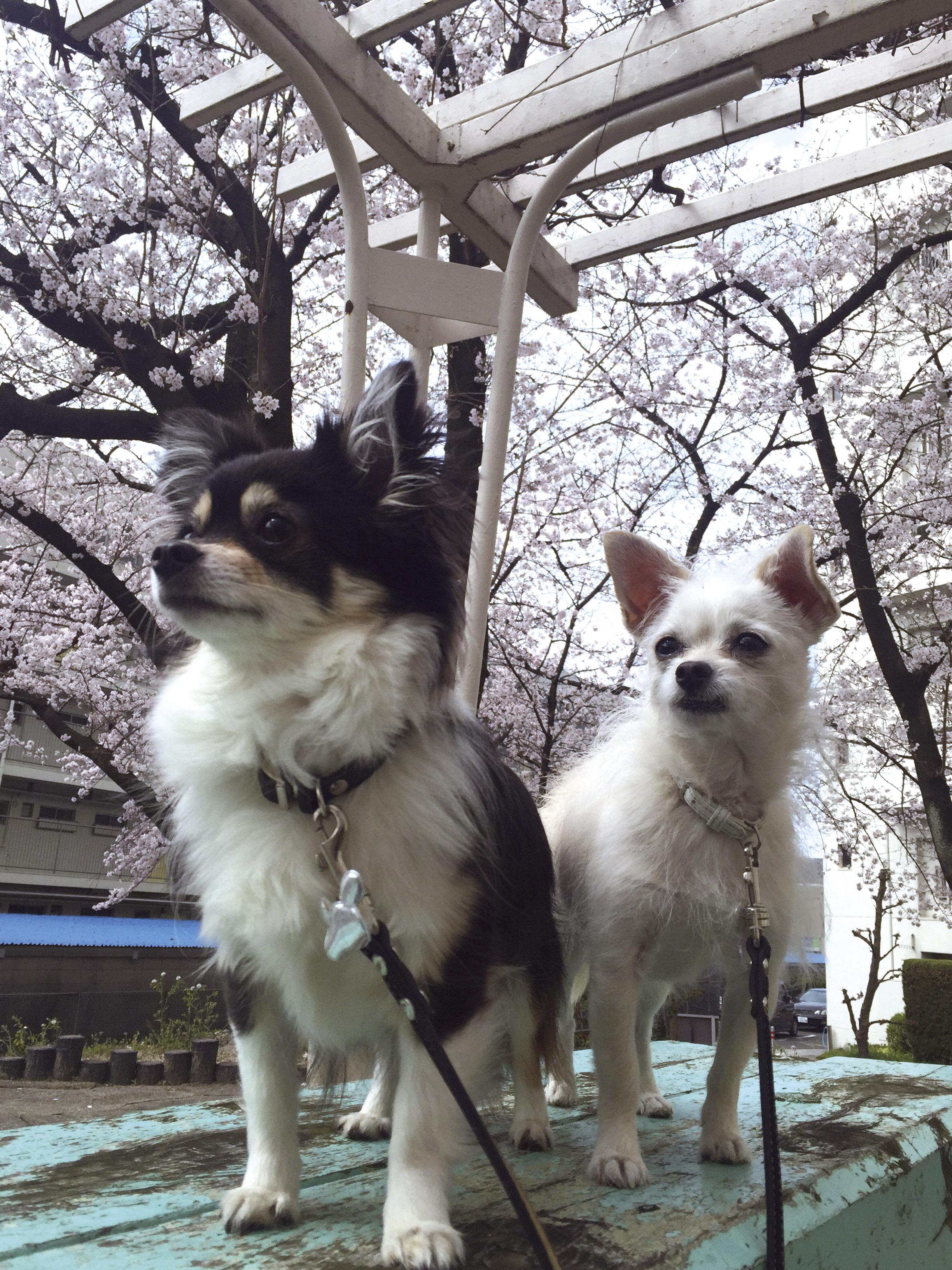 160408桜と姉妹01