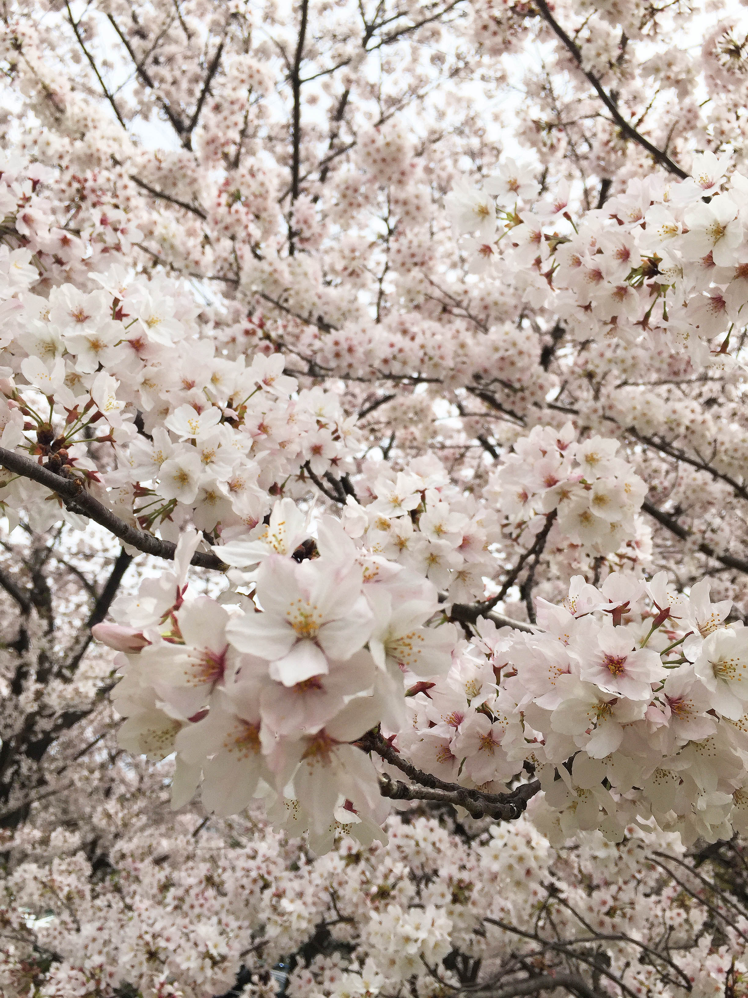 160408桜昼間