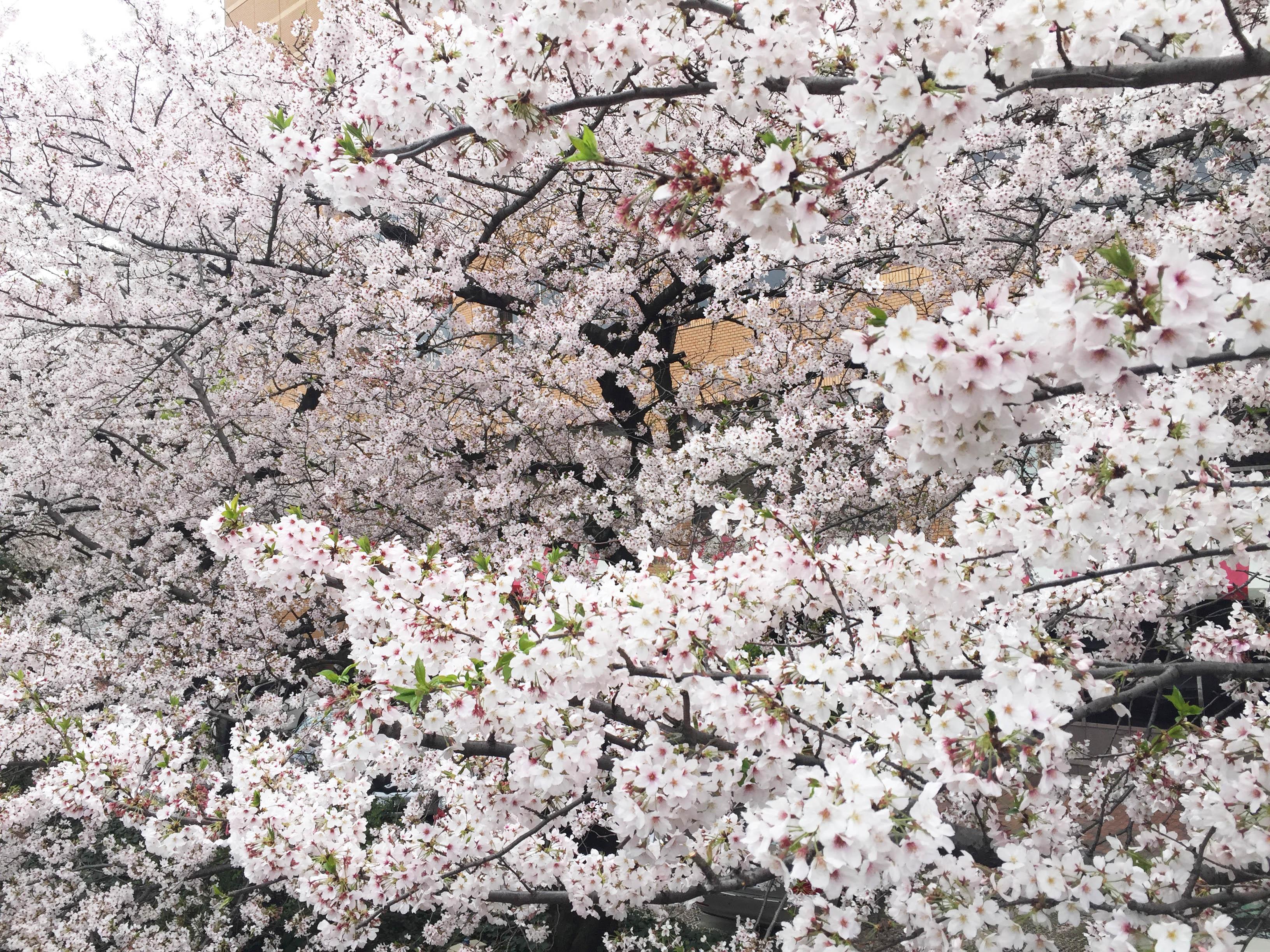 160408桜昼2