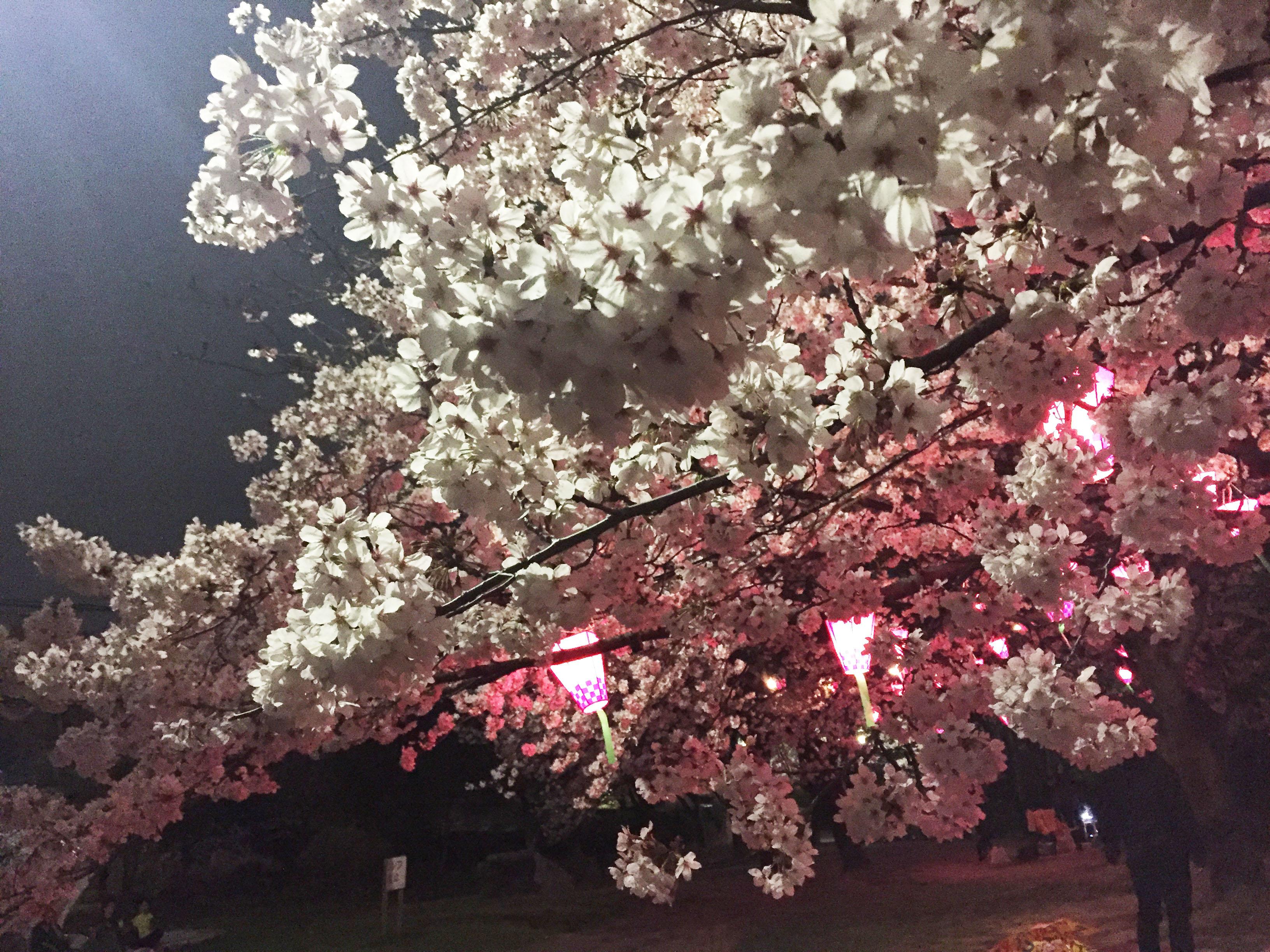 160408夜桜02