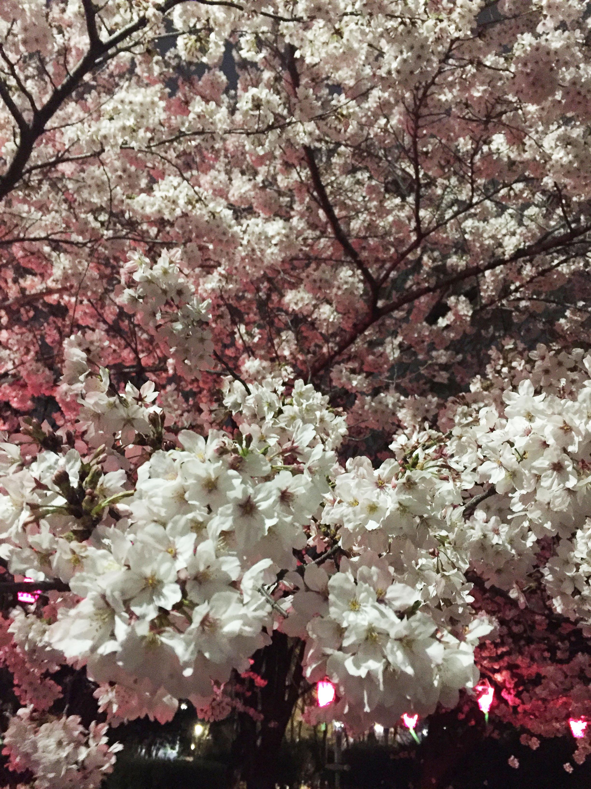 160408夜桜01