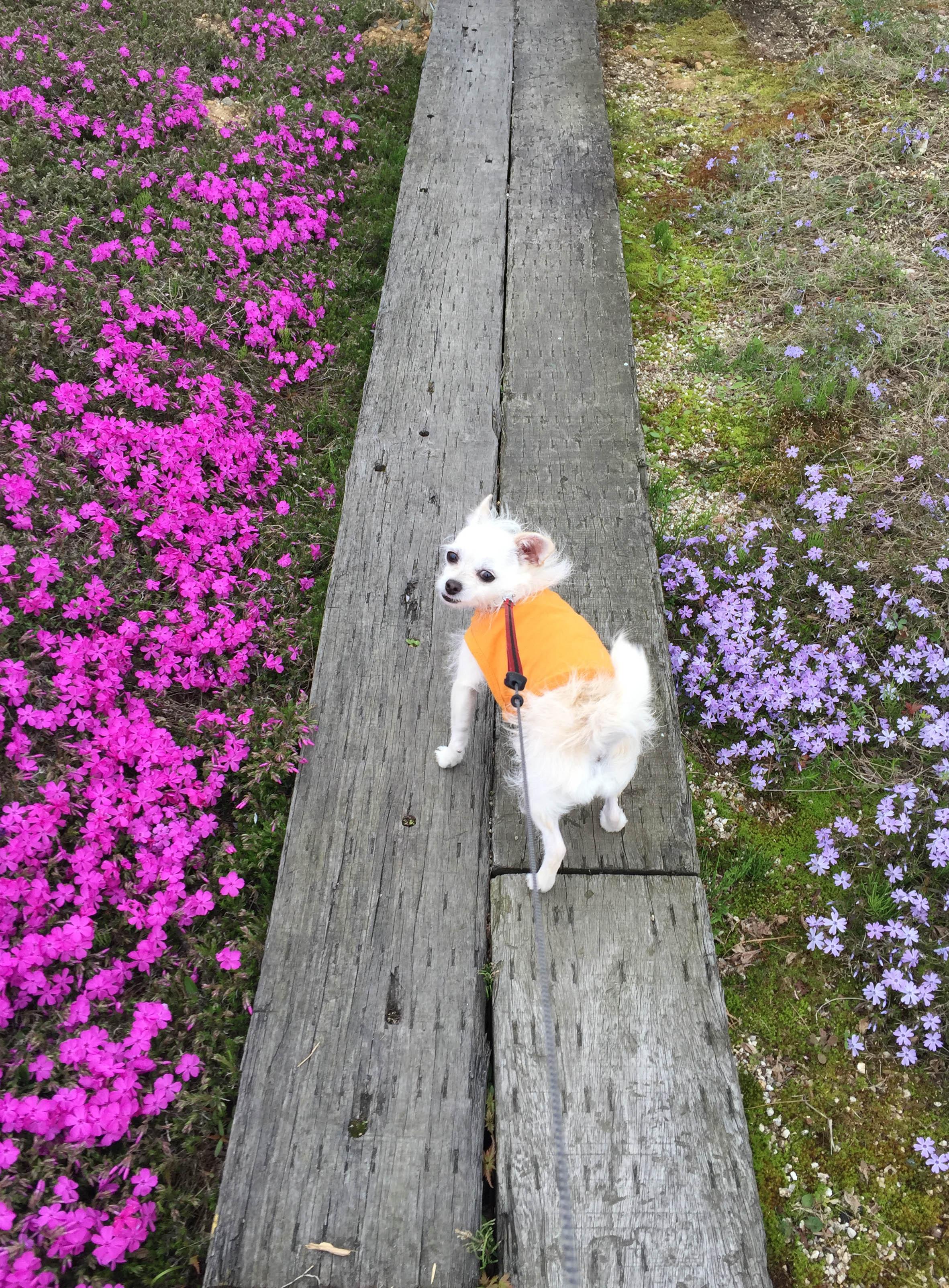 160415芝桜