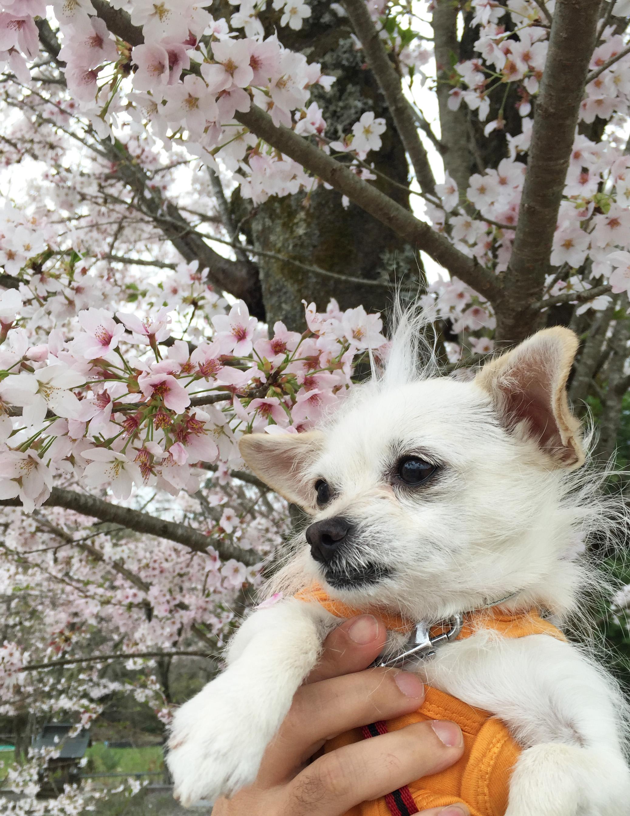 160415桜こゆ01