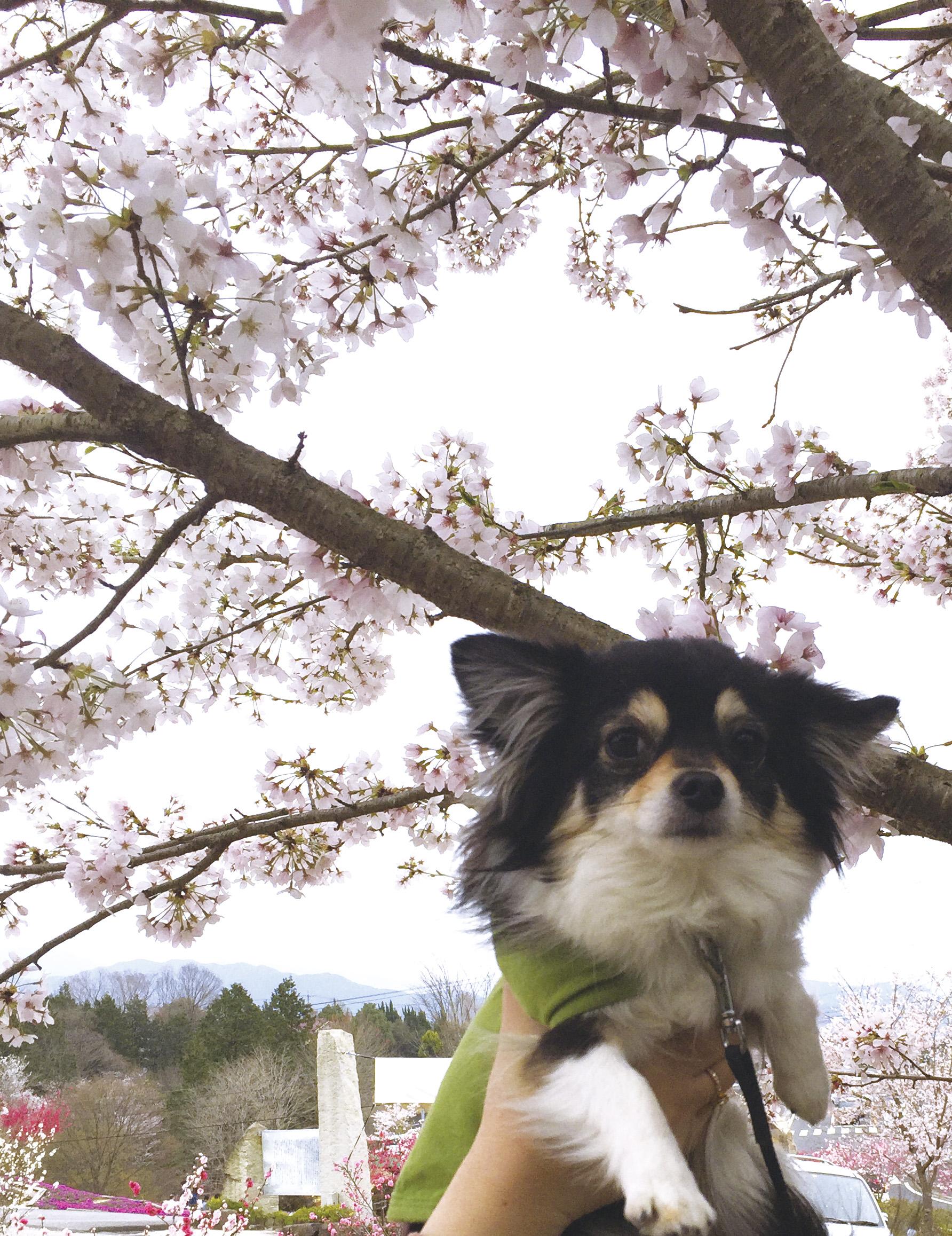 160415桜あん01