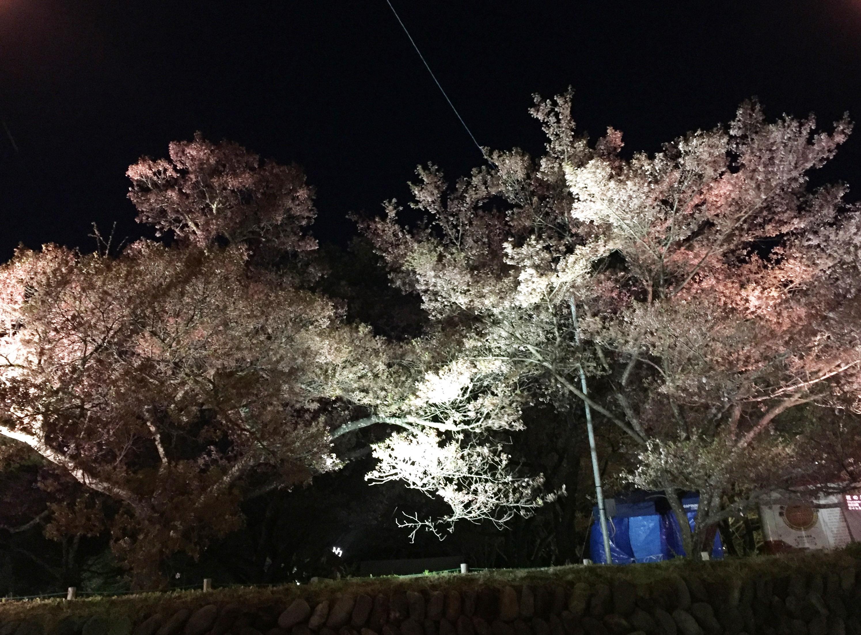 160422宵桜01