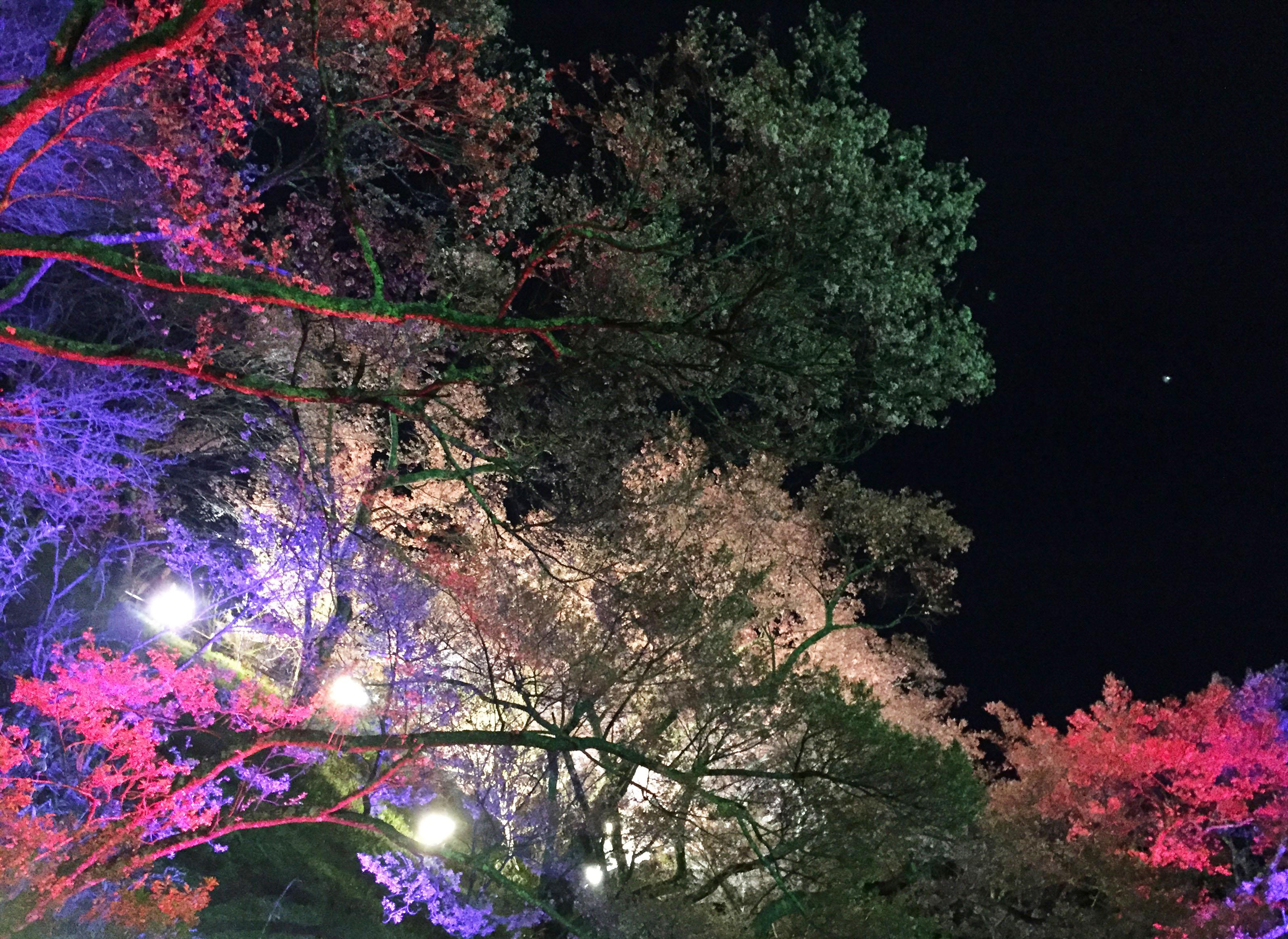 160422宵桜02