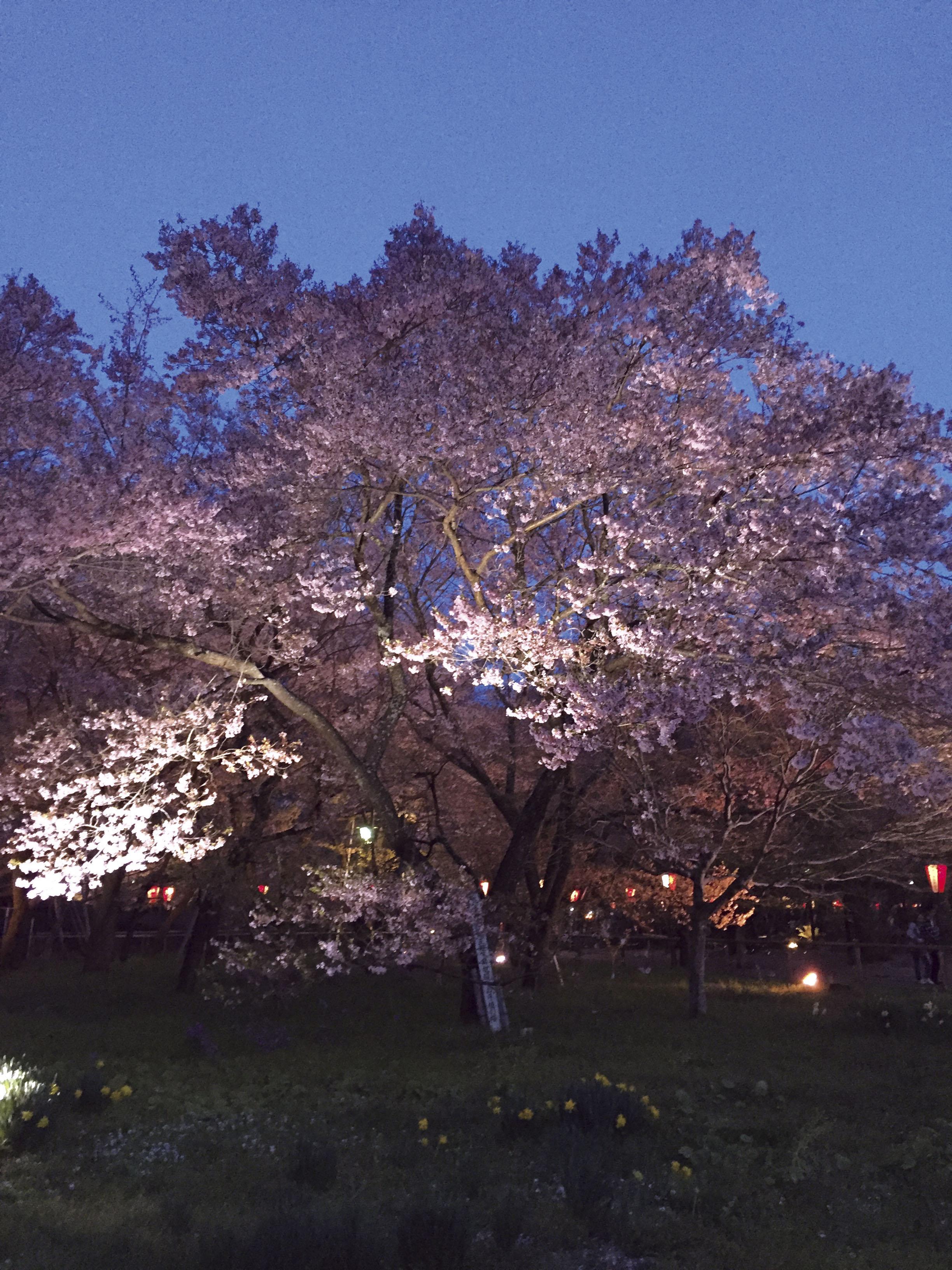 160422高遠宵桜