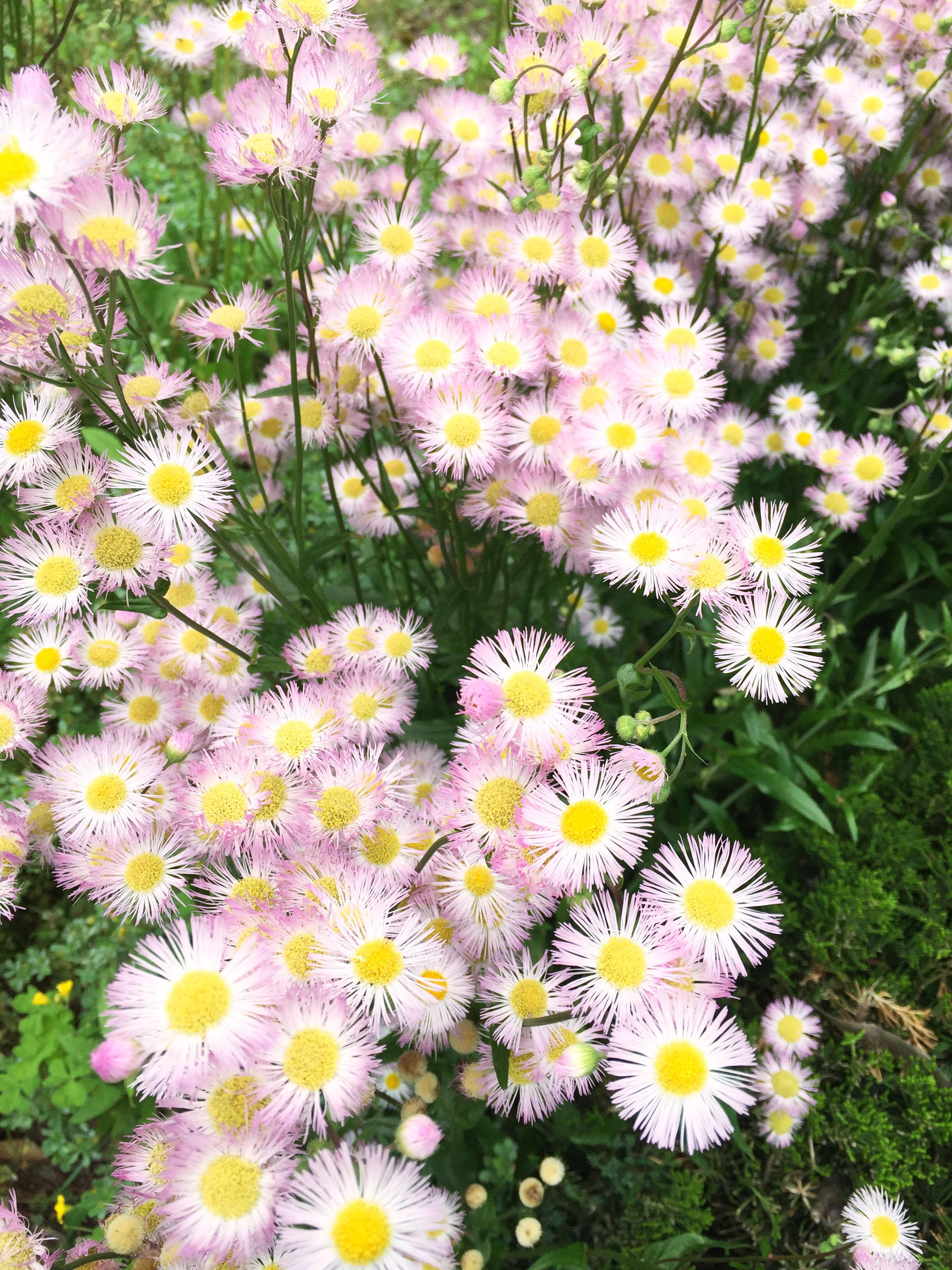 160502野花