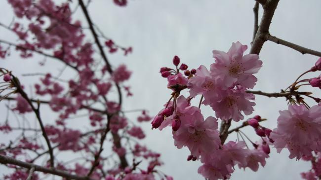 4月5日 満開 sakura