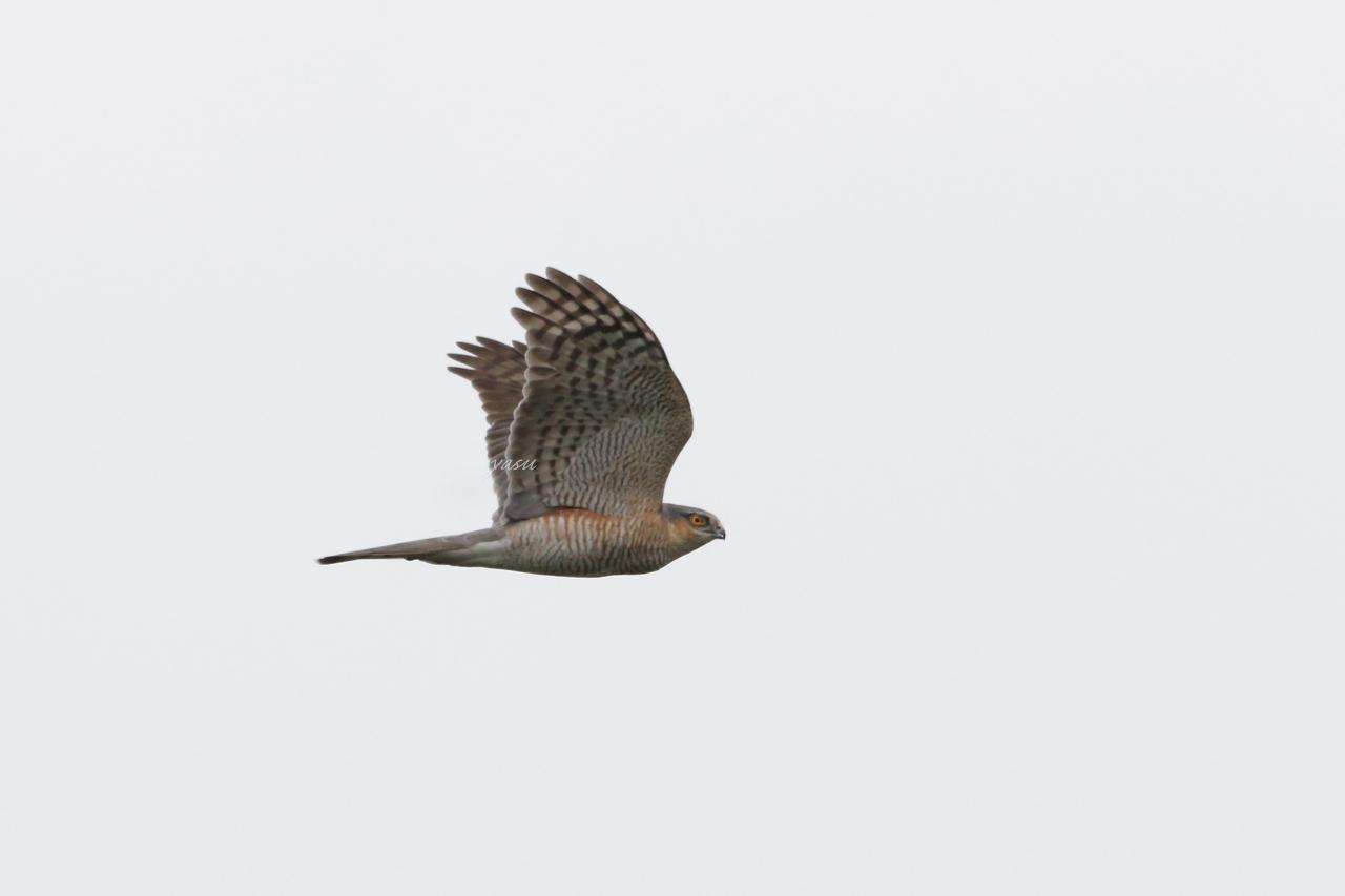 ハイタカ♂成鳥yネ995A2985 -2