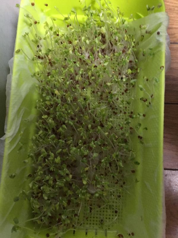 ブロッコリー芽