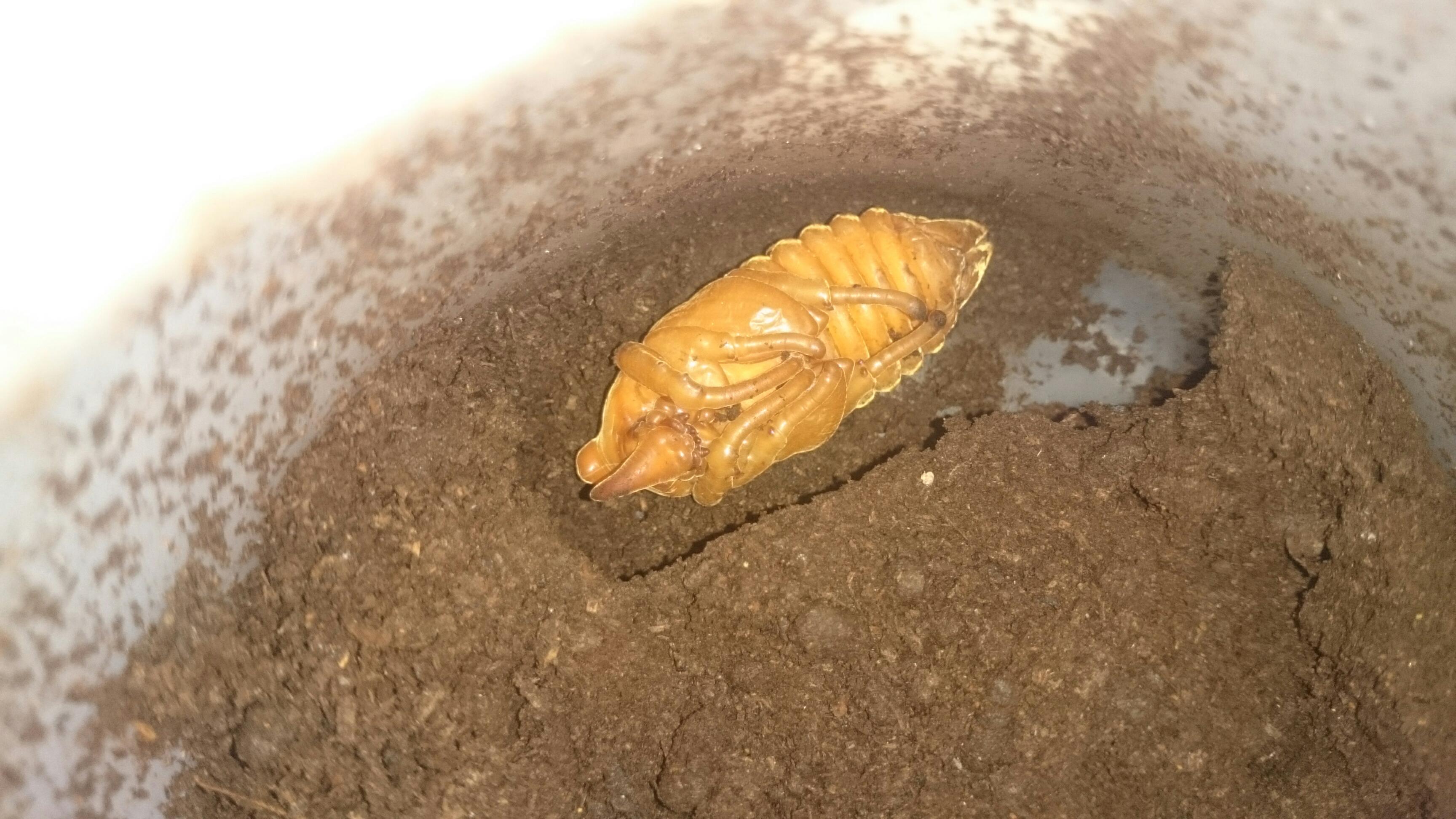 ゴロファ・グロブリコルニス蛹