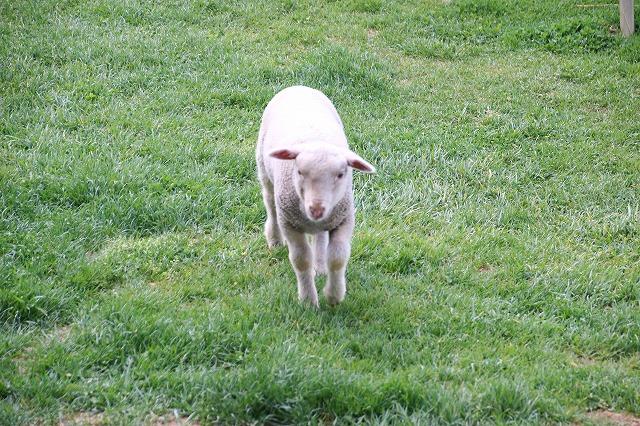 長門牧場羊