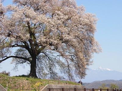 わに塚の桜、八ヶ岳遠望