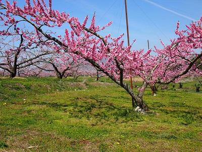新府の桃畑