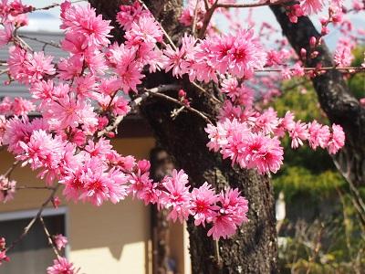 変わった桃の花