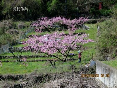 桃畑で受粉作業する農家の婦人