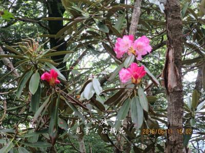 まだ残っていた石楠花の花