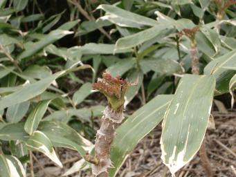 タラの芽①