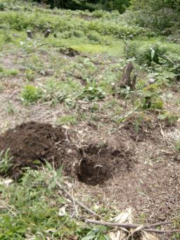 アロニア植え穴