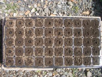 ブロッコリ-のポット栽培