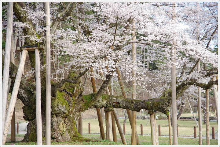 2016年4月5日 根尾谷の薄墨桜 (1)