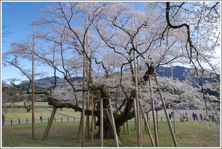 2016年4月5日 根尾谷の薄墨桜 (2)