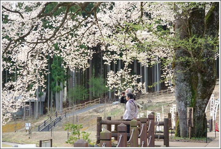 2016年4月5日 根尾谷の薄墨桜 (3)