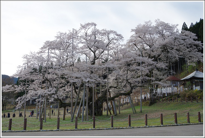 2016年4月5日 根尾谷の薄墨桜 (4)
