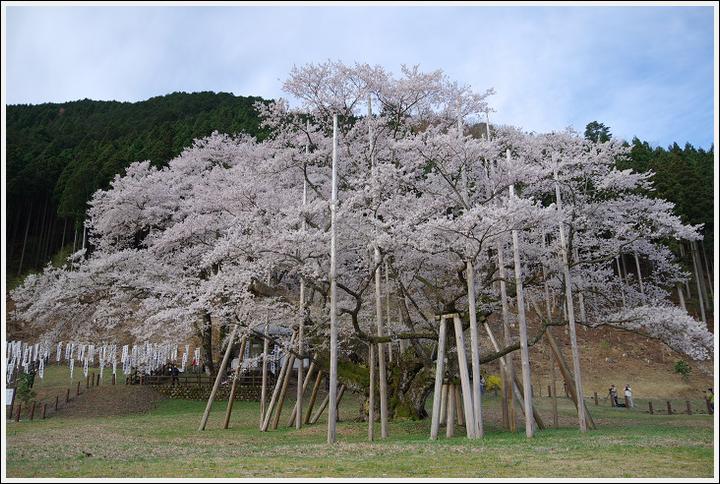 2016年4月5日 根尾谷の薄墨桜 (6)
