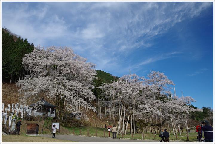 2016年4月5日 根尾谷の薄墨桜 (7)