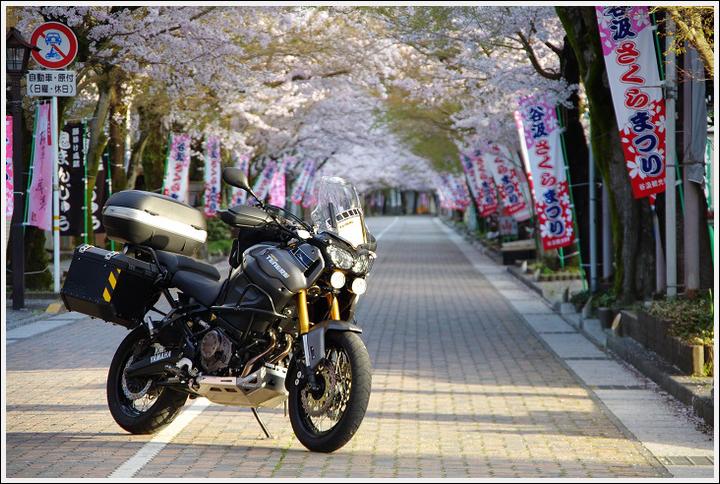 2016年4月5日 根尾谷の薄墨桜 (8)