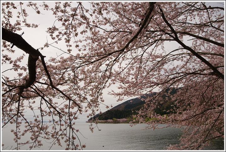 2016年4月5日 根尾谷の薄墨桜 (12)