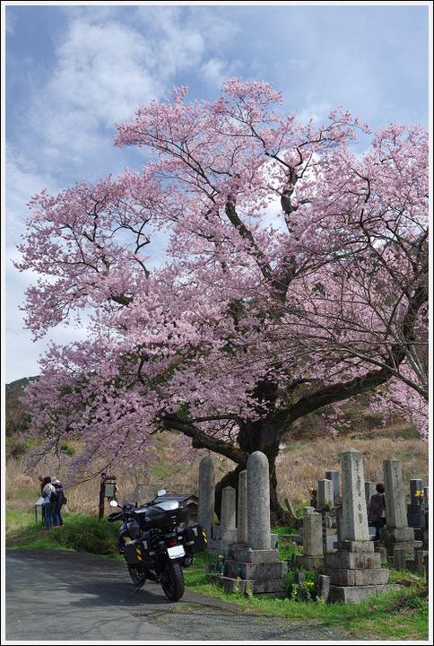 2016年4月5日 根尾谷の薄墨桜 (14)