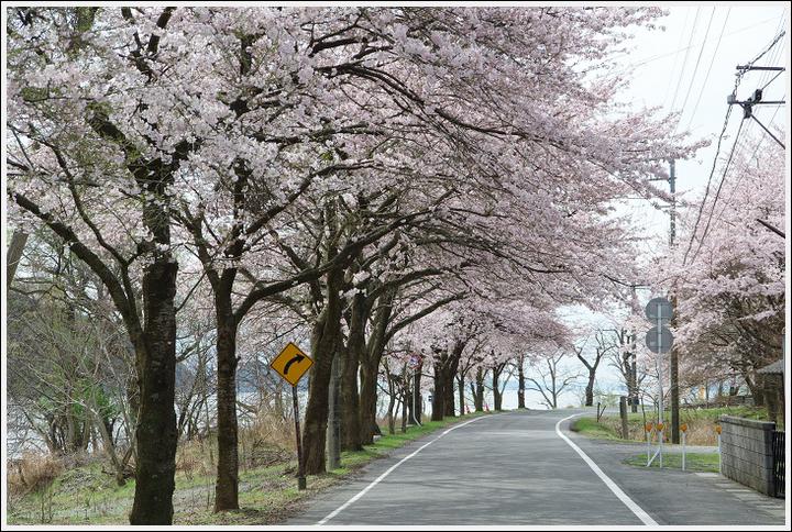 2016年4月5日 根尾谷の薄墨桜 (13)