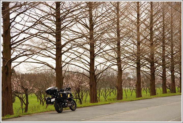 2016年4月5日 根尾谷の薄墨桜 (18)