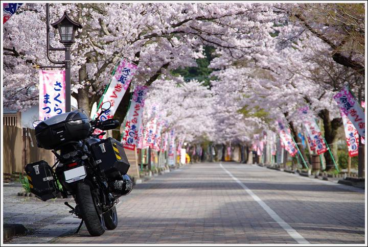 2016年4月5日 根尾谷の薄墨桜 (19)