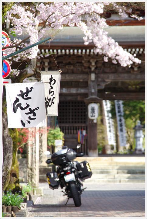 2016年4月5日 根尾谷の薄墨桜 (20)
